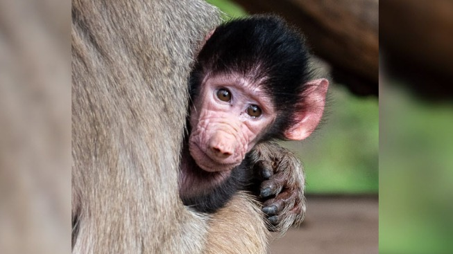 Third-Generation Hamadryas Baboon Born at Oakland Zoo