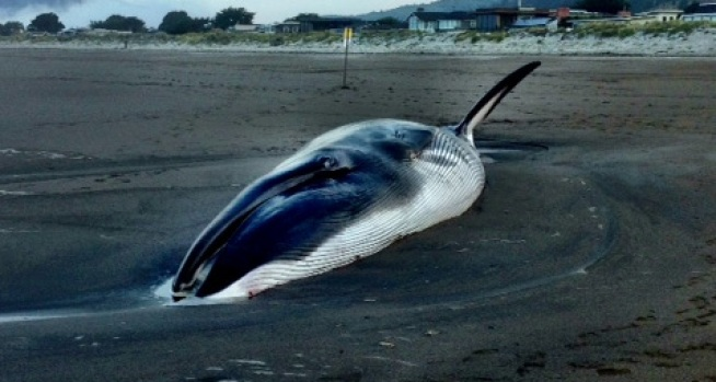 [BAY] Stranded Fin Whale Dies at Stinson Beach