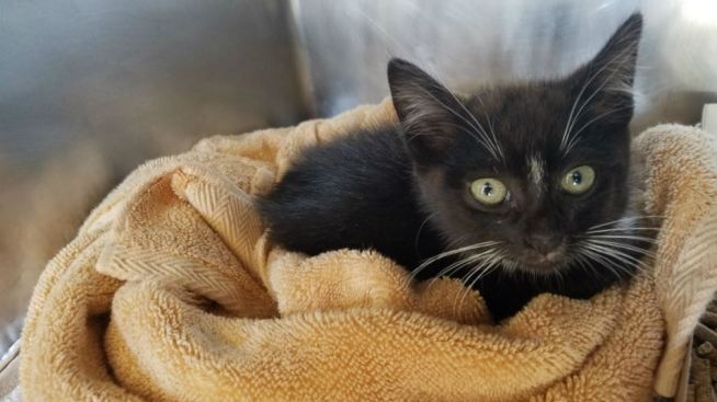 Kitten Rescued by Good Samaritan on Highway 101 in Belmont