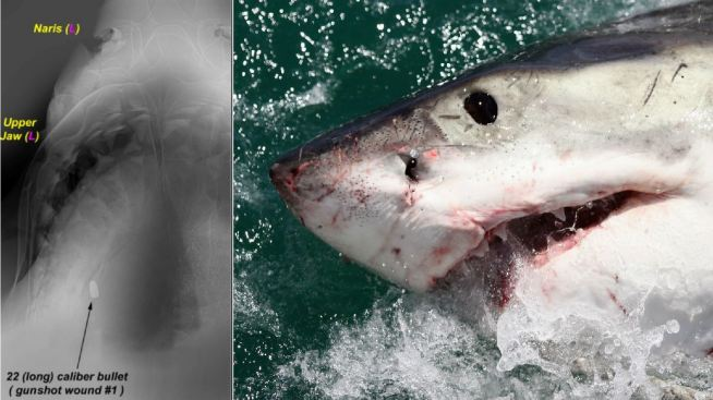 San Jose Man Convicted of Fatally Shooting Great White Shark