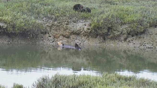 Now in HD: Elkhorn Slough Otter Cam