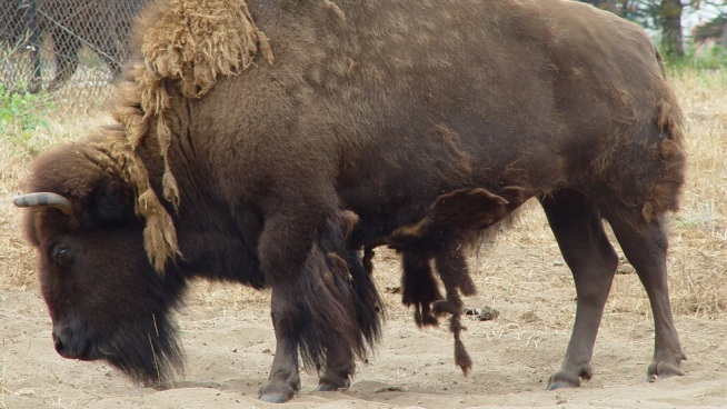 Beloved Bison Endangered by Economy