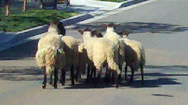 Brothers Herded for Stealing Sheep
