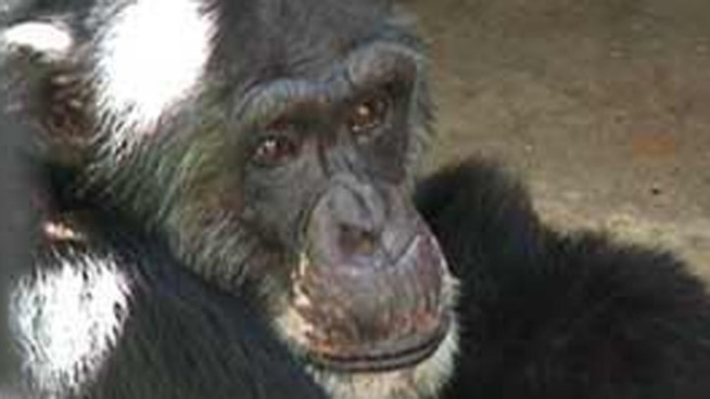 La. Chimps Get Pregnant After Vasectomies