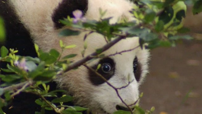Five-month-old giant panda Xiao Liwu will be unveiled to the public at the San Diego Zoo Thursday. On Wednesday, media got a preview of