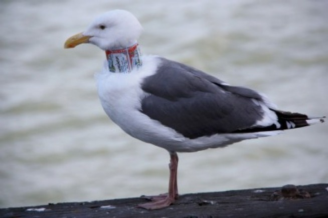 Sea Gulls Sabotaged with Beer Can Collars