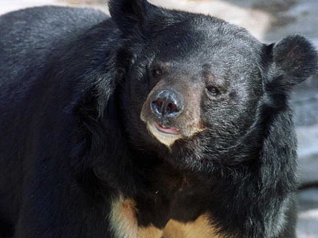 Bear Attacks Hunter In Sierra County