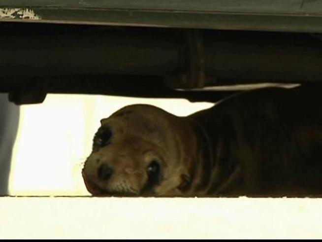 Unknown Shooter Blinds Sea Lion