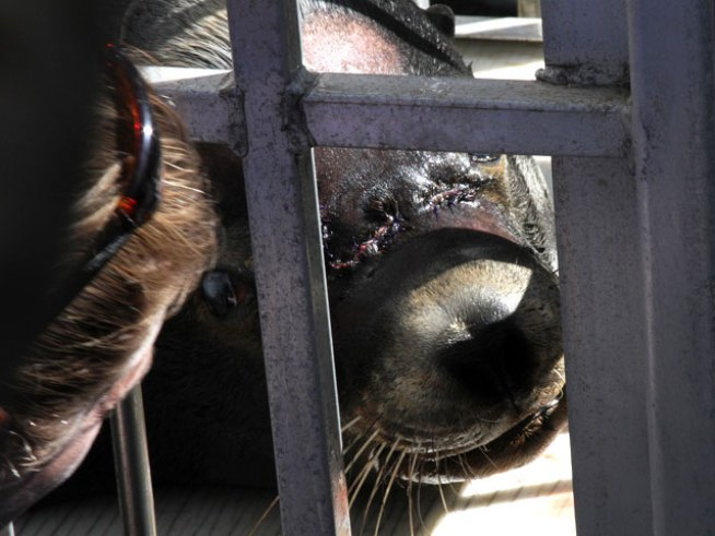 Sea Lion Recovering After Lifesaving Surgery