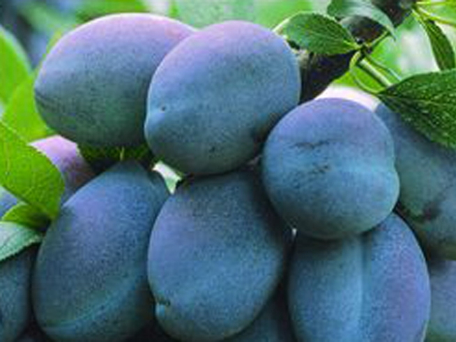 Feds Buy Calif. Prune Glut