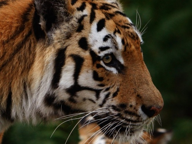 1,000 Tigers Killed in Decade; Extinction Near
