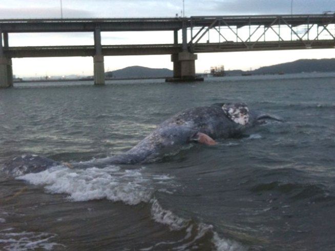 Raw Video: Dead Whale Floats in San Francisco Bay