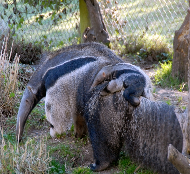 Bay Anteater Makes First Public Appearance