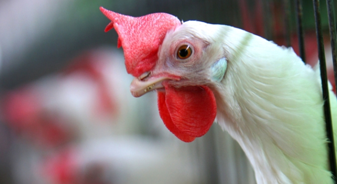 Calif. Law Protecting Egg-Laying Hens Survives Republican Challenge