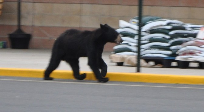 Bears Swarm Tahoe Neighborhoods