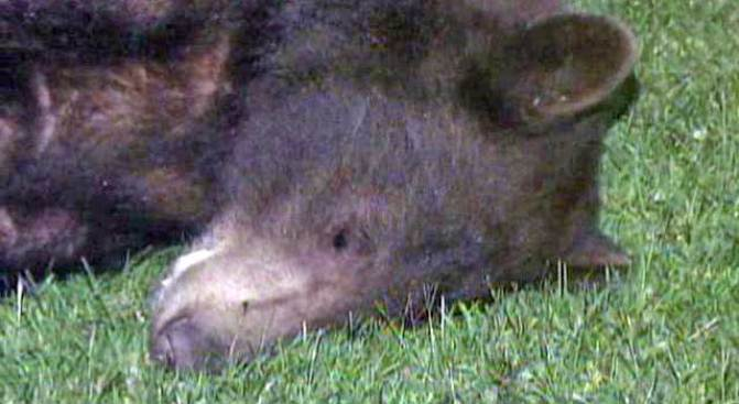 SoCal Bear Earns Nap After Chase