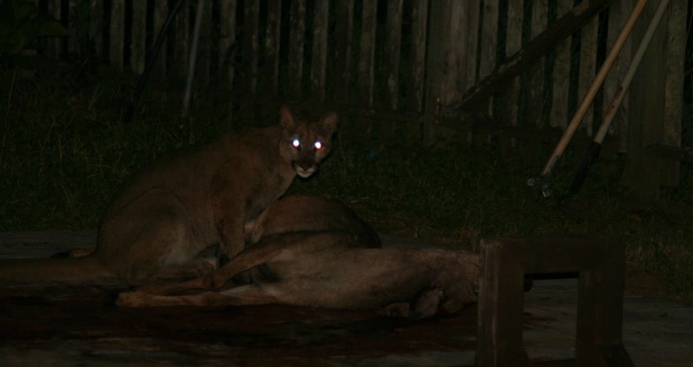 Mountain Lions Spotted Eating Deer in Portola Valley, Soquel