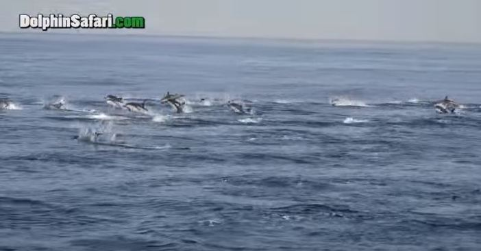 Dolphin 'Stampede' Dazzles Whale Watchers in Dana Point