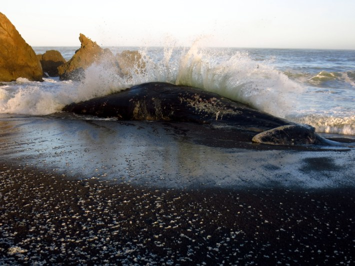 Nearly 50-Foot Sperm Whale Washes Up on Pacifica Beach