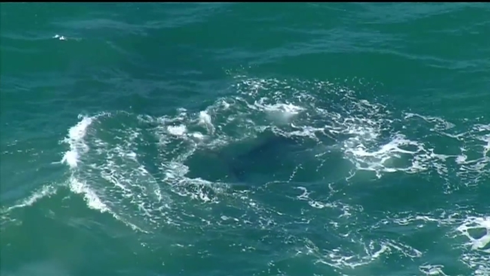 RAW VIDEO: Dolphins and Whales Swimming Off San Diego Coast
