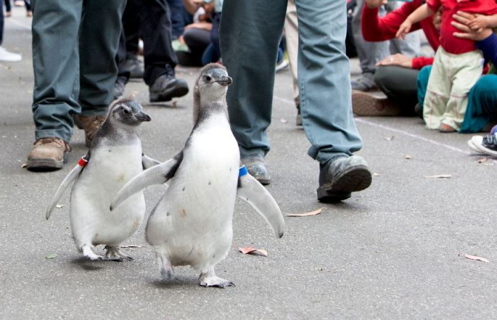 San Francisco Zoo Penguins Graduate From Fish School