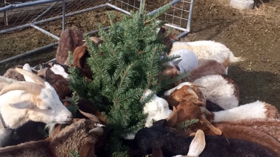 San Francisco Goats Fill Up on Donated Christmas Trees