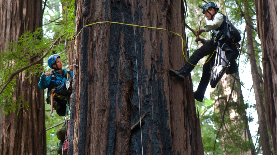 Tallest Tree in Muir Woods Only 777 Years Old, Study Shows