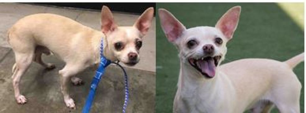 A Once Scared and Sad Chihuahua Finds Forever Home with Veterinarian