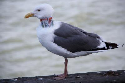 Collared gull