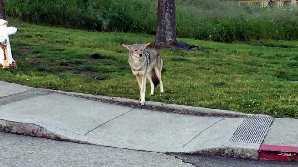 Coyote Sightings on the Rise in San Francisco
