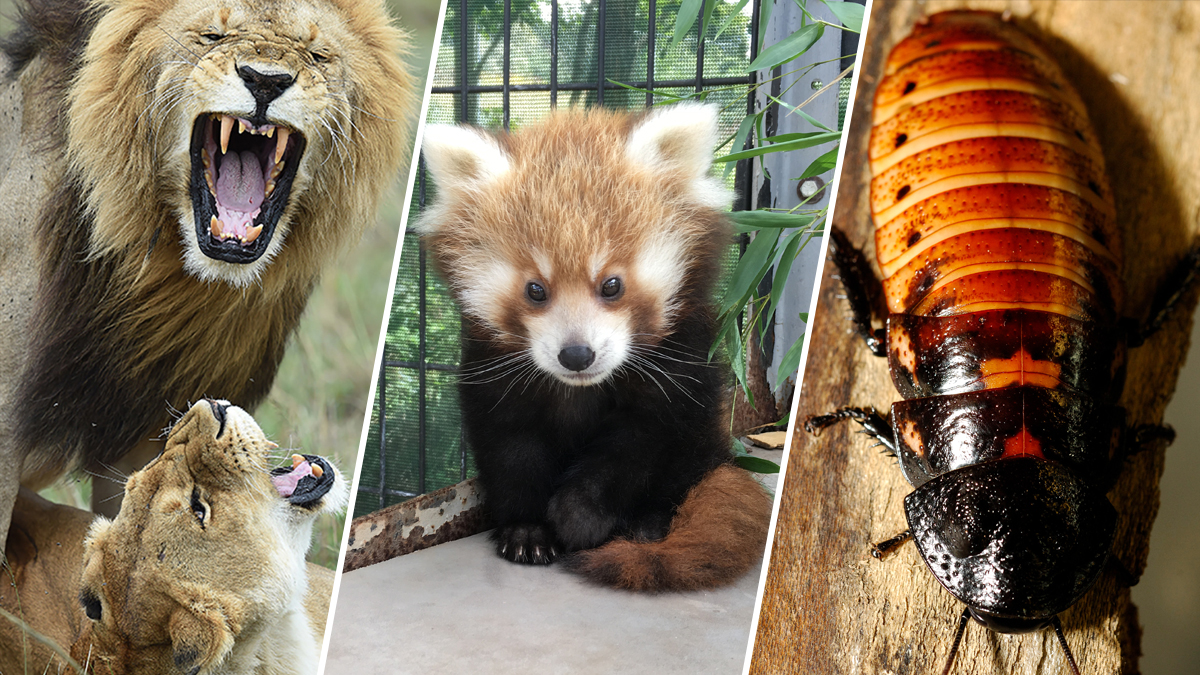 'Adopt' a Red Panda or Name a Roach This Valentine's Day
